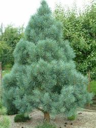 Pinus Sylvestris Bonna Aka Scotch Pine